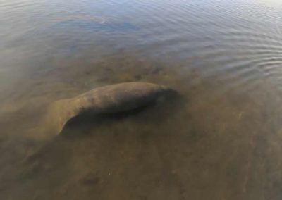 Manatee_Swimming_In_Gulf_Of_Mexico